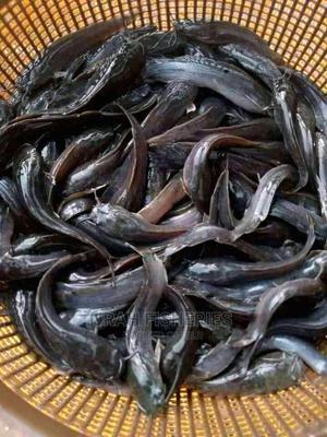 Juvenile Catfish | Fish for sale in Lagos State, Alimosho
