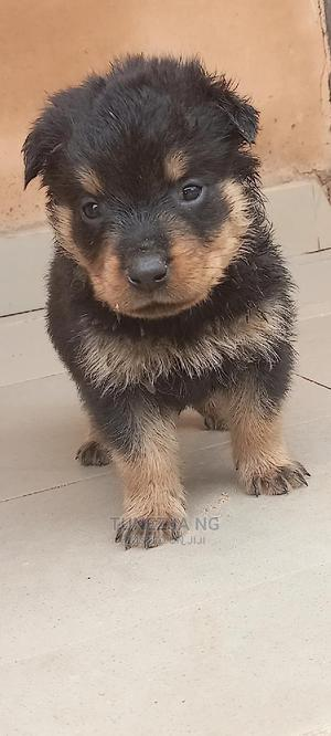 1-3 Month Female Purebred Rottweiler   Dogs & Puppies for sale in Plateau State, Jos
