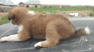 0-1 Month Female Mixed Breed Caucasian Shepherd | Dogs & Puppies for sale in Abuja (FCT) State, Gwagwalada