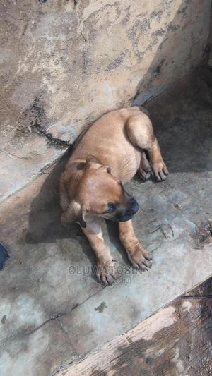 0-1 Month Female Purebred Boerboel | Dogs & Puppies for sale in Oyo State, Ibadan