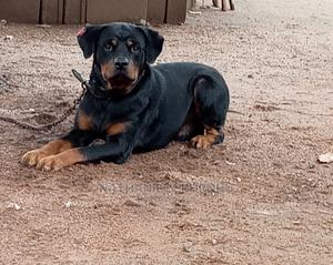 1+ Year Male Purebred Rottweiler | Dogs & Puppies for sale in Lagos State, Ikorodu