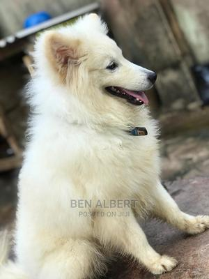0-1 Month Female Purebred American Eskimo | Dogs & Puppies for sale in Lagos State, Ikorodu