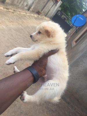1-3 Month Male Purebred American Eskimo | Dogs & Puppies for sale in Abuja (FCT) State, Apo District