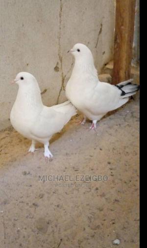 Bullet Pigeons | Birds for sale in Kaduna State, Kaduna / Kaduna State