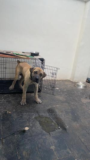 6-12 Month Male Purebred Boerboel   Dogs & Puppies for sale in Edo State, Benin City