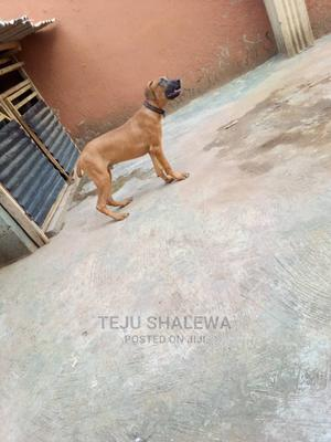 3-6 Month Male Purebred Boerboel | Dogs & Puppies for sale in Lagos State, Ejigbo