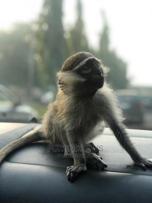 8 Months+ Female Vervet Monkey | Other Animals for sale in Abuja (FCT) State, Asokoro
