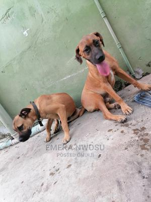 3-6 Month Male Purebred Boerboel   Dogs & Puppies for sale in Lagos State, Surulere