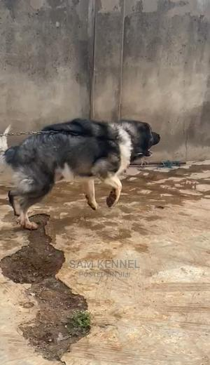 1+ Year Male Purebred Caucasian Shepherd   Dogs & Puppies for sale in Osun State, Osogbo