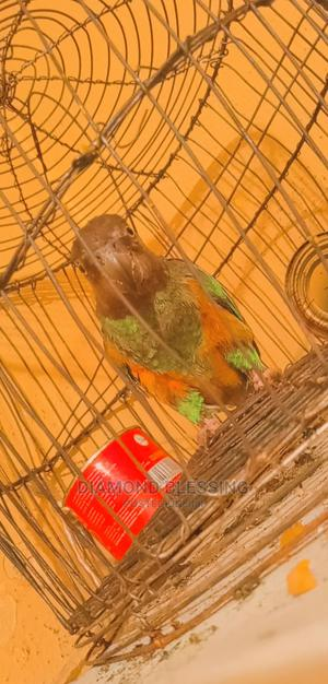 Young Parrot | Birds for sale in Edo State, Benin City