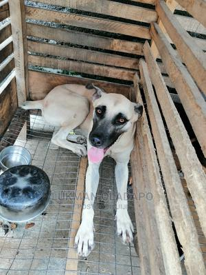 6-12 month Female Mixed Breed Boerboel | Dogs & Puppies for sale in Lagos State, Amuwo-Odofin