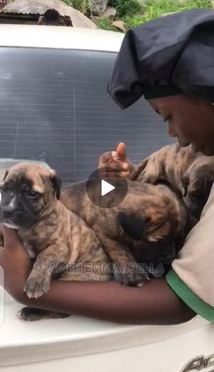1-3 Month Female Purebred Boerboel   Dogs & Puppies for sale in Abuja (FCT) State, Kubwa