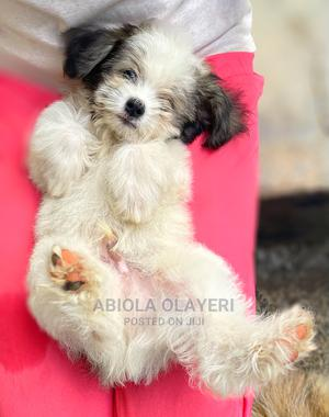 1-3 Month Male Purebred Lhasa Apso | Dogs & Puppies for sale in Abuja (FCT) State, Maitama
