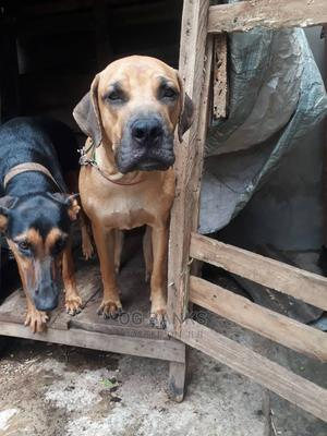 6-12 Month Male Purebred Boerboel   Dogs & Puppies for sale in Lagos State, Ipaja