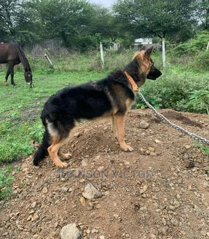 6-12 Month Male Purebred German Shepherd | Dogs & Puppies for sale in Edo State, Benin City