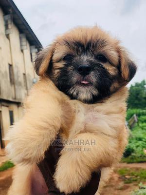 1-3 Month Female Purebred Lhasa Apso | Dogs & Puppies for sale in Lagos State, Ikeja