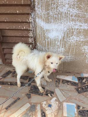 6-12 Month Male Purebred American Eskimo   Dogs & Puppies for sale in Oyo State, Ibadan
