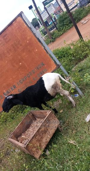 Ram for Sale at Affordable Price   Other Animals for sale in Kwara State, Ilorin East