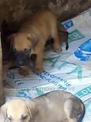 1-3 Month Male Purebred Boerboel | Dogs & Puppies for sale in Anambra State, Onitsha