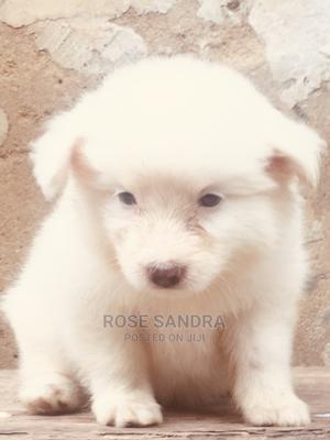 1-3 Month Male Purebred American Eskimo | Dogs & Puppies for sale in Lagos State, Agege