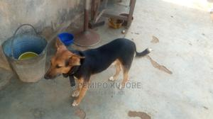 1+ Year Male Mixed Breed German Shepherd | Dogs & Puppies for sale in Lagos State, Epe