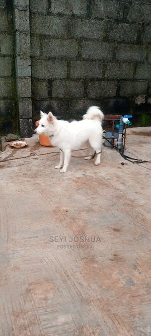 6-12 Month Male Purebred American Eskimo   Dogs & Puppies for sale in Lagos State, Ikorodu