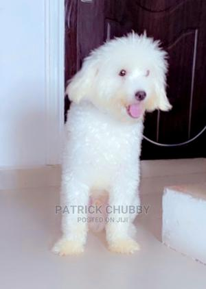 6-12 Month Male Purebred Maltese | Dogs & Puppies for sale in Lagos State, Lekki