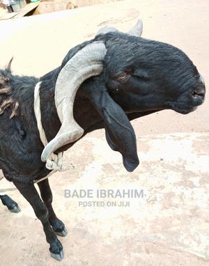 Ram For Sale | Livestock & Poultry for sale in Ogun State, Ijebu Ode