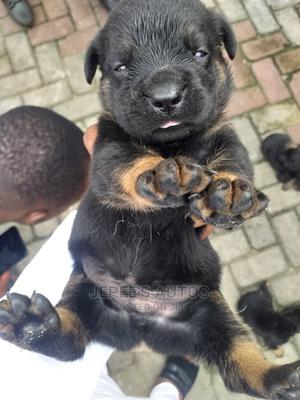 1-3 Month Male Purebred Rottweiler | Dogs & Puppies for sale in Rivers State, Port-Harcourt