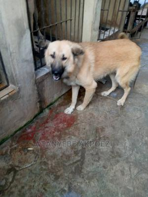 1+ Year Male Purebred Caucasian Shepherd   Dogs & Puppies for sale in Lagos State, Ojo
