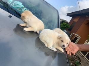 0-1 Month Female Purebred American Eskimo | Dogs & Puppies for sale in Lagos State, Ifako-Ijaiye