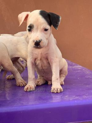 1-3 month Female Mixed Breed American Pit Bull Terrier   Dogs & Puppies for sale in Oyo State, Lagelu