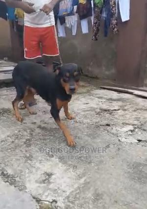 1+ Year Male Purebred Rottweiler | Dogs & Puppies for sale in Delta State, Udu