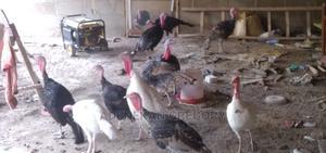 Ileya Slaes.Live Turkeys for Sale   Birds for sale in Oyo State, Oluyole