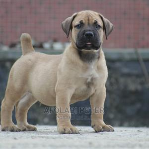 1-3 Month Male Purebred Boerboel | Dogs & Puppies for sale in Edo State, Benin City