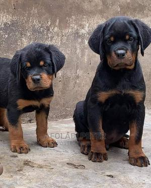 1-3 Month Female Purebred Rottweiler | Dogs & Puppies for sale in Plateau State, Jos