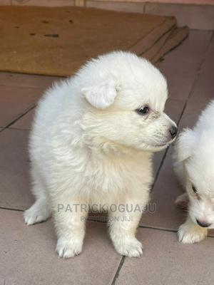 1-3 Month Male Purebred American Eskimo | Dogs & Puppies for sale in Lagos State, Amuwo-Odofin