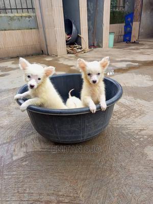 3-6 Month Female Purebred American Eskimo | Dogs & Puppies for sale in Ogun State, Ado-Odo/Ota