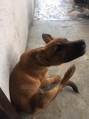 1-3 Month Male Purebred Belgian Malinois | Dogs & Puppies for sale in Abuja (FCT) State, Maitama