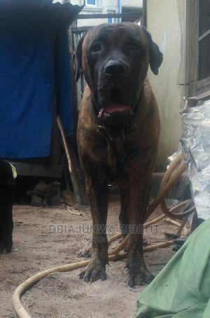 1+ Year Male Purebred Boerboel | Dogs & Puppies for sale in Imo State, Owerri