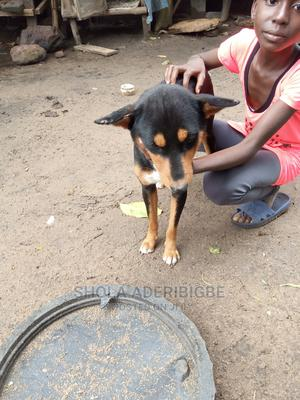 1+ Year Male Mixed Breed Dog | Dogs & Puppies for sale in Lagos State, Agege