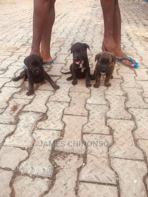 1-3 Month Female Mixed Breed Caucasian Shepherd | Dogs & Puppies for sale in Abuja (FCT) State, Jabi
