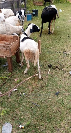 Ileya Ram for Sale   Other Animals for sale in Kwara State, Ilorin East