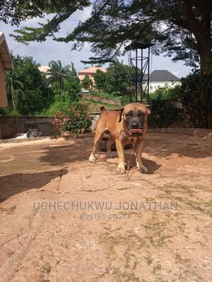 1+ Year Male Purebred Boerboel | Dogs & Puppies for sale in Enugu State, Nsukka