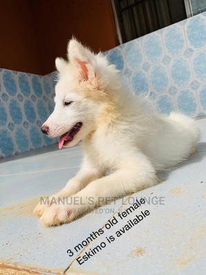 3-6 Month Female Purebred American Eskimo | Dogs & Puppies for sale in Lagos State, Ikorodu