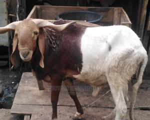 Ileya Ram for Sale   Other Animals for sale in Lagos State, Yaba