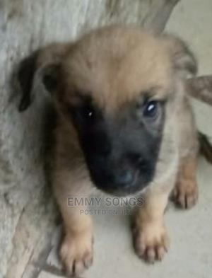 1-3 Month Male Purebred German Shepherd | Dogs & Puppies for sale in Lagos State, Ikorodu