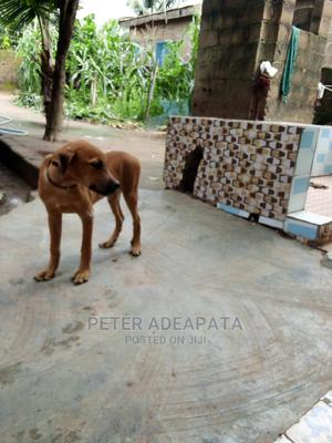 3-6 Month Male Purebred Boerboel   Dogs & Puppies for sale in Ogun State, Ifo