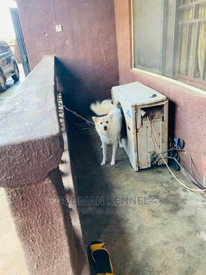1+ Year Male Purebred American Eskimo | Dogs & Puppies for sale in Anambra State, Onitsha