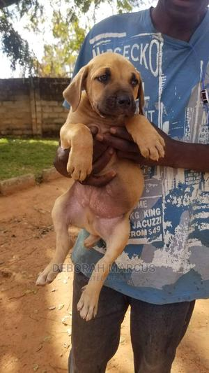 1-3 Month Female Purebred Boerboel | Dogs & Puppies for sale in Akwa Ibom State, Uyo